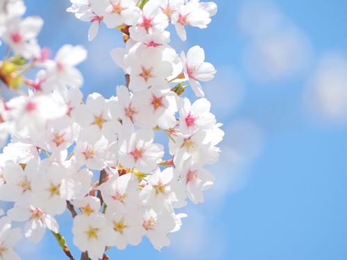 染井霊園~美しい桜の霊園~